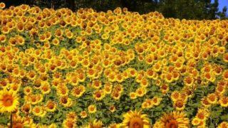 マヤ暦KIN40、黄色い太陽・黄色い太陽・音1