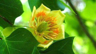 マヤ暦KIN156、黄色い戦士・黄色い種・音13