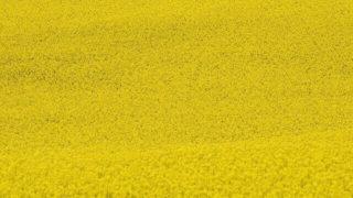 マヤ暦KIN196、黄色い戦士・黄色い戦士・音1