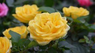 マヤ暦KIN244、黄色い種・青い鷲・音10